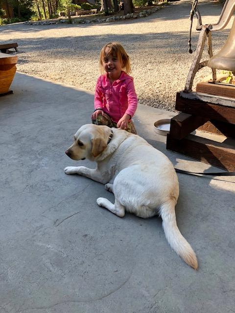 golden lab dog