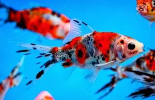 Ikan Mas Shubunkins