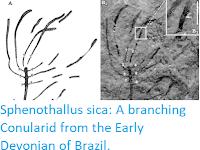 https://sciencythoughts.blogspot.com/2019/07/sphenothallus-sica-branching-conularid.html