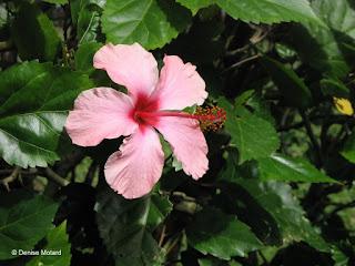 Pink hibiscus, Fort DeRussy Park - Waikiki, Hawaii