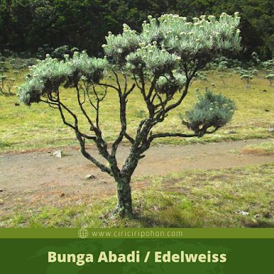 Bunga Abadi / Edelweiss