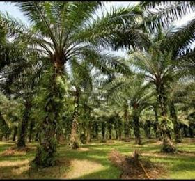 dijual kebun lahan sawit di daerah langkat pangkalan susu murah 47jt /Hektar <del>Rp 50.000.000,-</del> <price>Rp 47.000.000,-</price> <code>PSUSU</code>