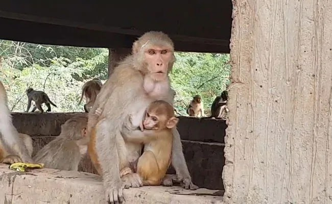 Four-month-old Baby killed By a MONKEY