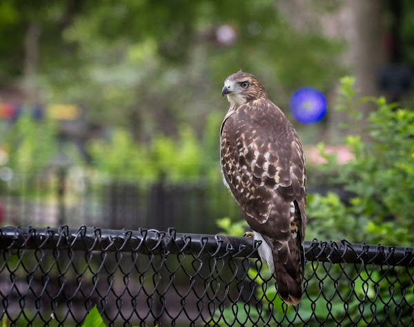 Tompkins Square red-tail fledgling 02