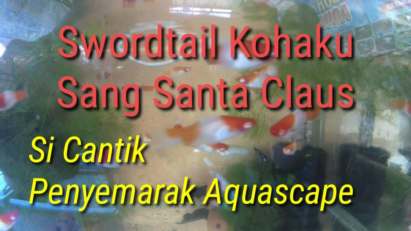 Swordtail Kohaku Sang Santa Claus, Si Cantik Penyemarak Aquascape