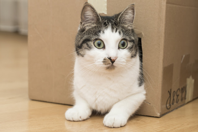 Five things to set up your house for your cat. Cats can feel safe in a cardboard box (pictured)