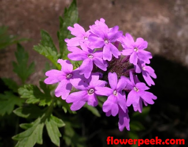 How to grow Rose Verbena Plant From Seed