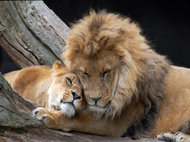 Los leones, sus poblaciones descienden rápidamente