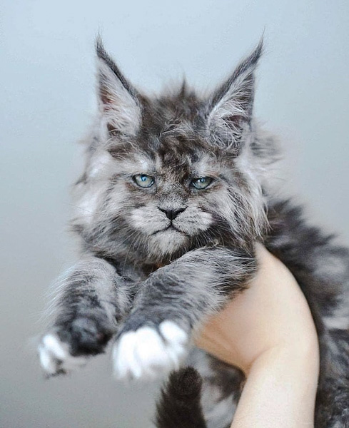 Grey Maine Coon looking wisely human
