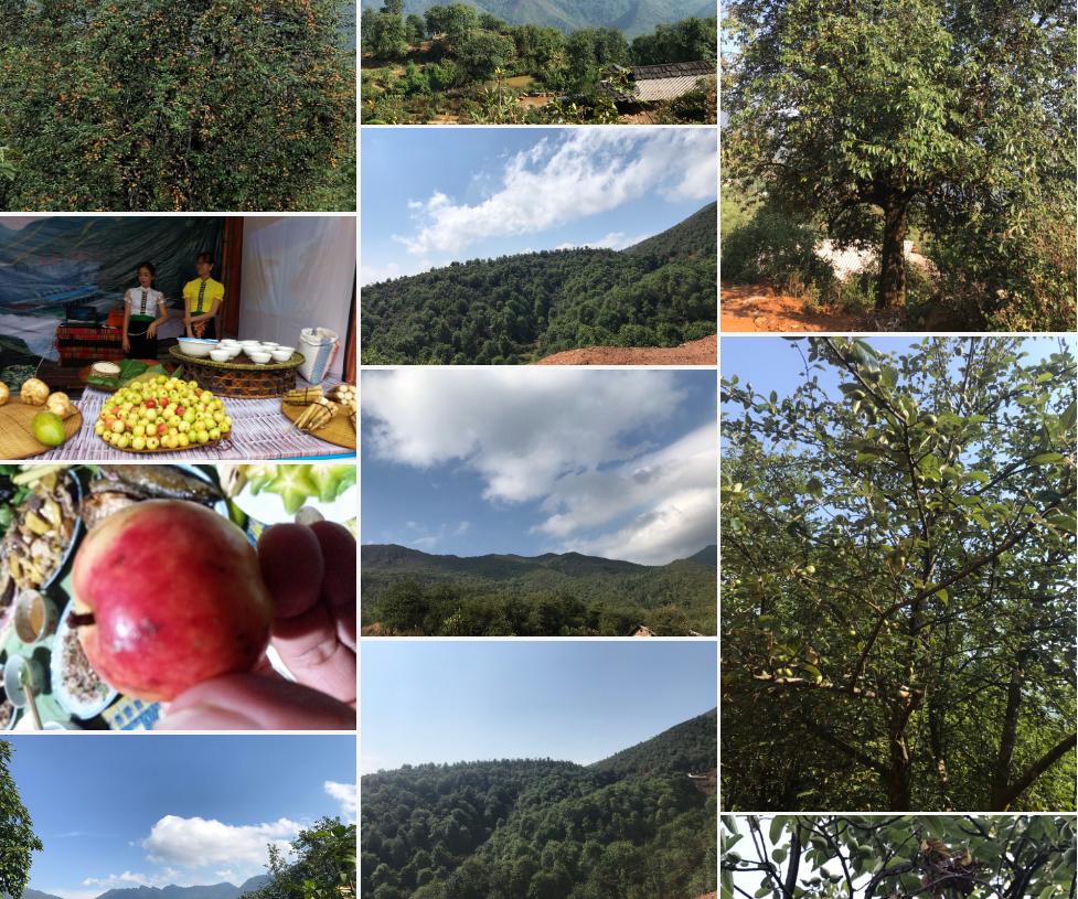 Hình ảnh cây quả Sơn trà (táo mèo) Nậm Nghiệp xã Ngọc Chiến