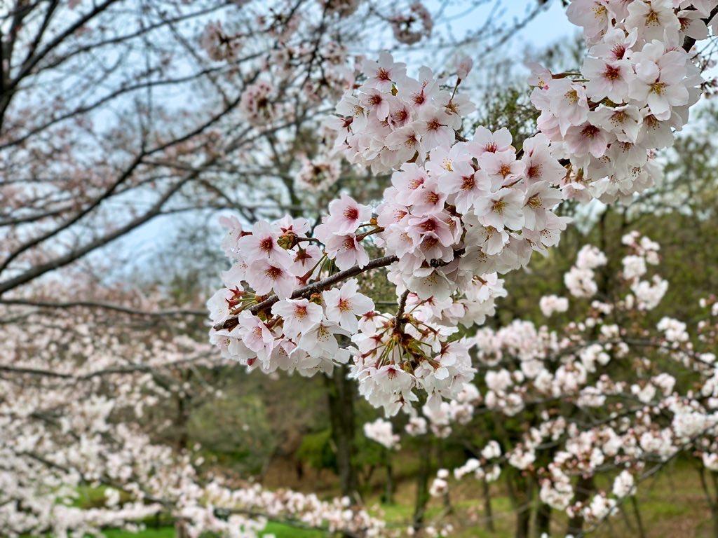 たわわに実った桜の木