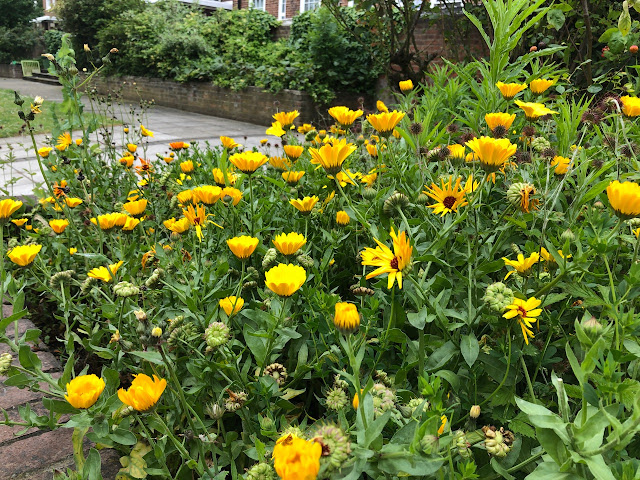A drift of yellow calendula flowers growing among weeds.