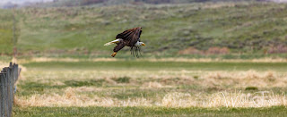 Bald eagle, Steamboat Springs, Colorado