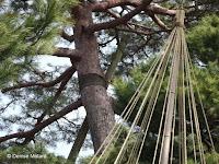 Permanent tree stakes and winter rope protections - Kenroku-en Garden, Kanazawa, Japan