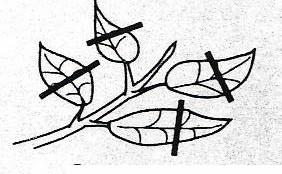 Gambar Beberapa teknik pemangkasan pada pembentukan bonsai