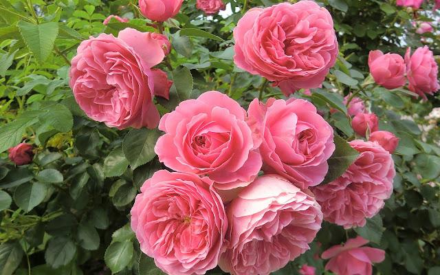 Grote struik roze rozen