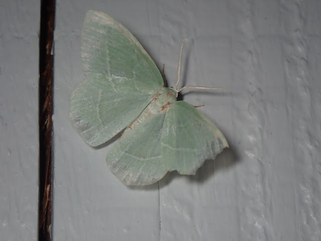Hemistola chrysoprasaria