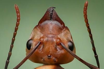 5 Fakta Unik Semut Paling Mematikan di Dunia