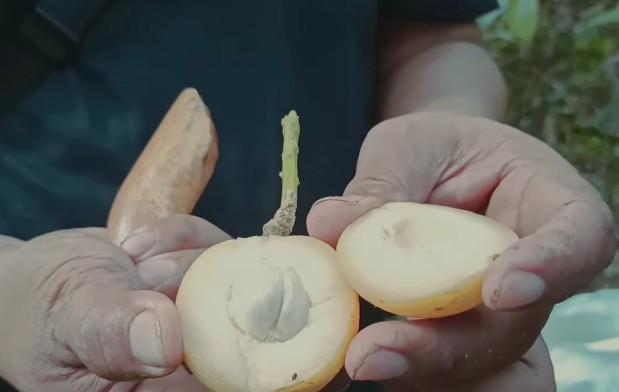 gambar buah limpasu