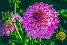 A close-up of a purple dahlia. Photo by Couleur on Pixabay.