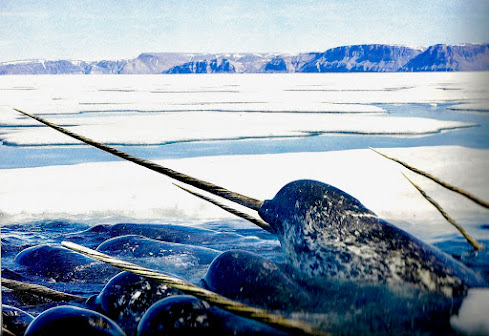 Narwhals breach through an opening in the ice-pack.                     Photo credit - US Fish & Wildlife.