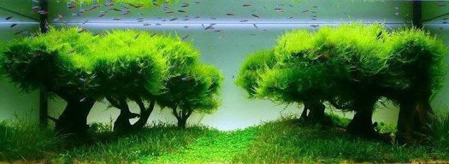 Aquascape Java Moss - Cara Membuat Aquascape