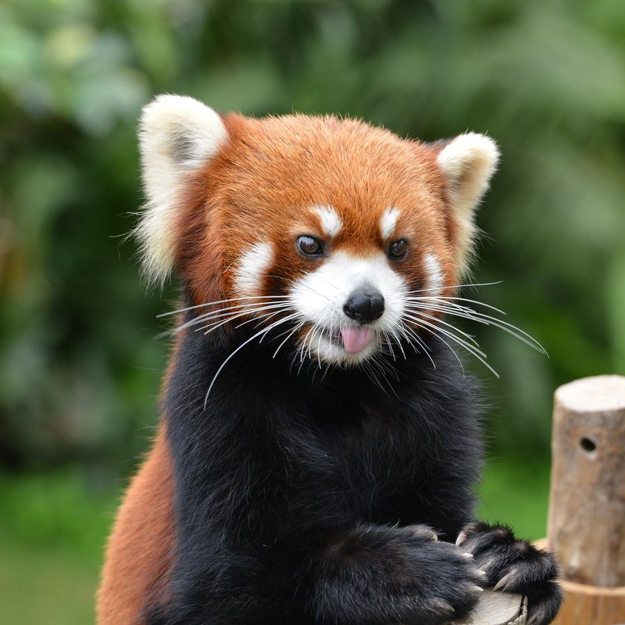 2. Red Panda by Zen Ding