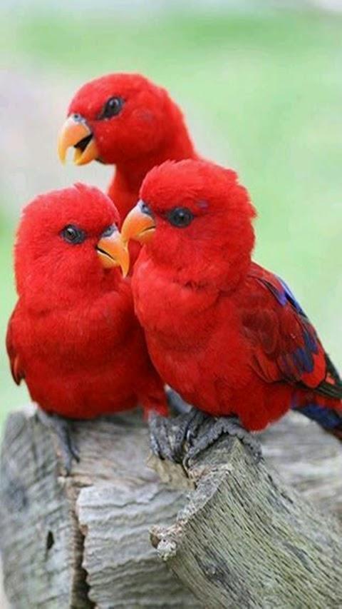 Những Chú Vẹt Đỏ