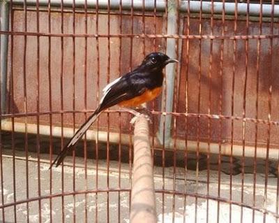 Ciri Ciri Fisik Burung Murai Batu Bordan Jantan