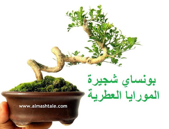 بونساي المورايا murraya bonsai