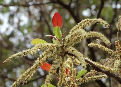 Flowers of Vibhitaki (Termenalia bellirica)