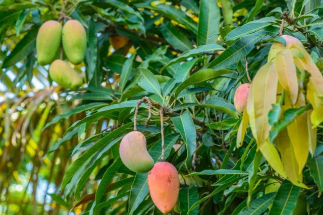 Properties and benefits of Mango and use 2