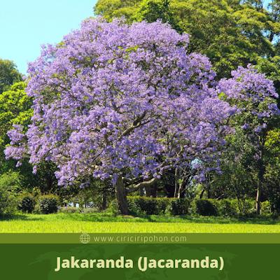 Jakaranda (Jacaranda)