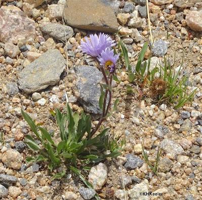 purple alpine aster