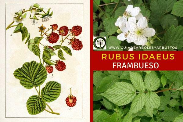 El Rubus idaeus, frambueso, pertenece a la familia Rosáceas, su fruta es la frambuesa.