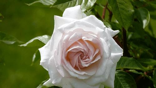 Puisi Mawar Putihku