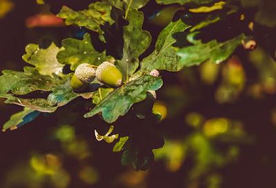 Roble, crecimiento de un árbol