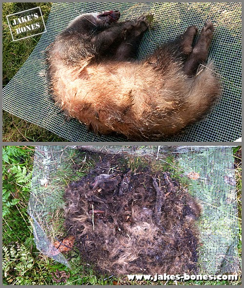 Rescuing The Badger Body After The Storm Jake S Bones