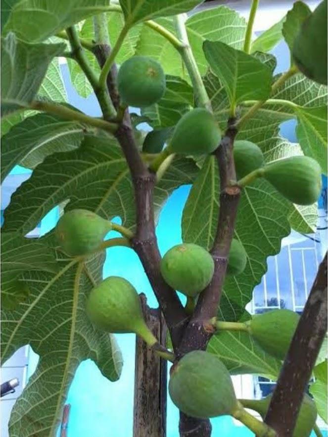 bibit buah tin green yordan Aceh