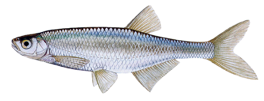 Виды речных и озерных рыб (Уклейка)