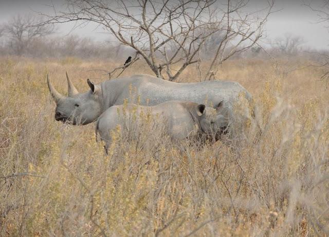 rinoceronte col figlio all'Etosha