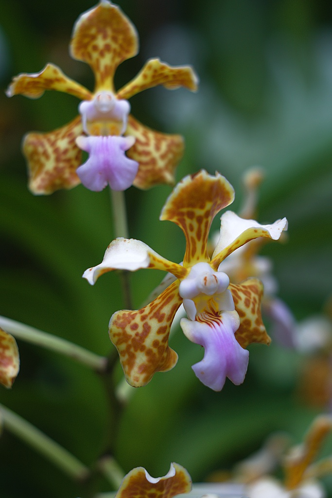 #244 Helios-44 f2 58mm – Orchidee