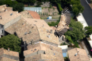 Vautour au dessus du village de Rémuzat - ©Laurent Salino