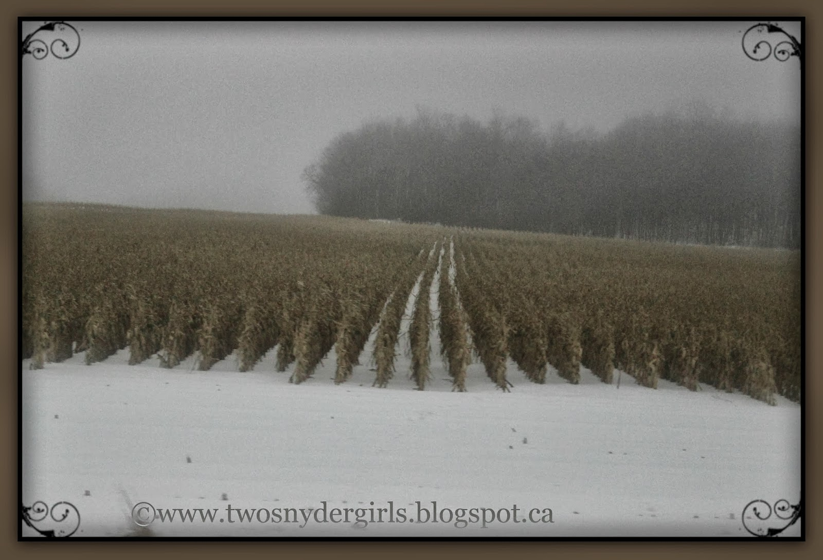 Corn standing in snow covered field