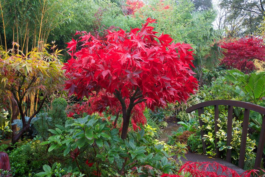 How to grow acer palmatum 39 osakazuki 39 the garden of eaden for Japanese trees for small gardens