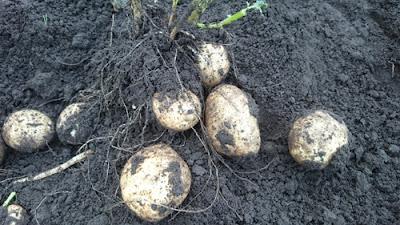 掘り上げ中のジャガイモ