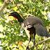 Jacu Bird Coffee, café produzido a partir das fezes da ave ganha o mundo