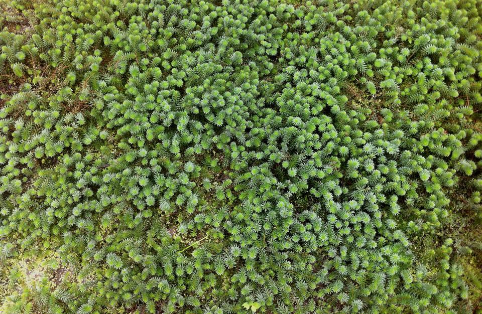 Cây thủy sinh luân thảo xanh có thể sống trên cạn