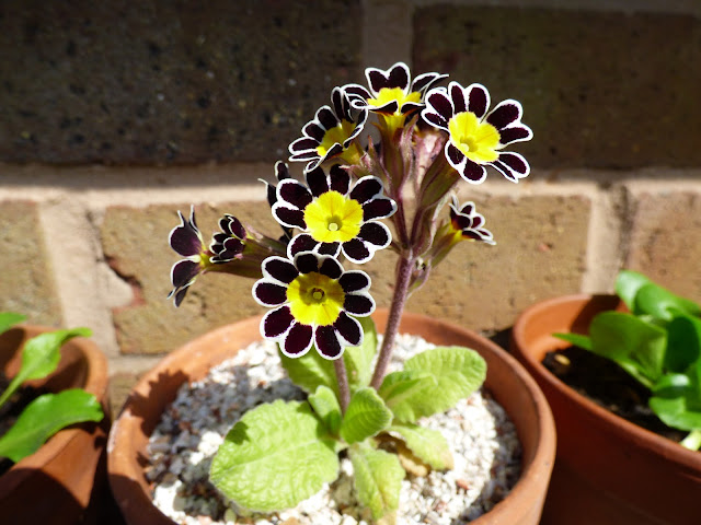 Primula Goldlace