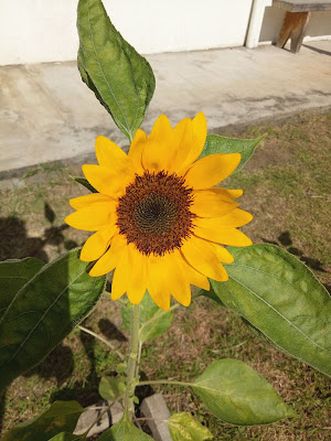 Blooming sunflower in the morning